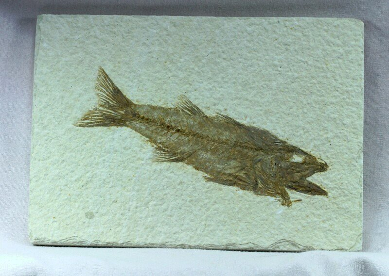 Mioplosus fish fossil for sale for Fish fossils for sale