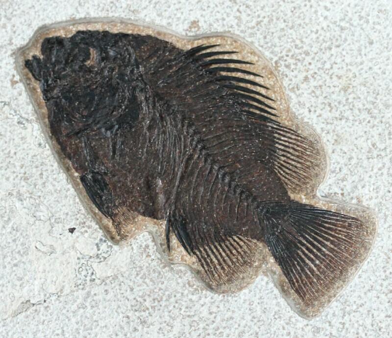 priscacara liops fish fossils