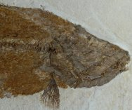 Amia fragosa Green River Fossil Fish