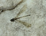 Green River Formation Damselfly Fossil