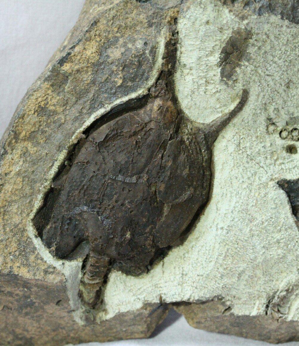 Pleurocystites Carpoid Fossil