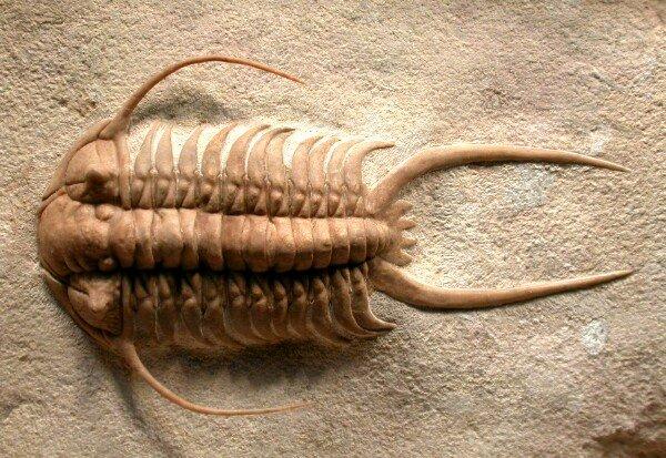 Resultado de imagem para Trilobita