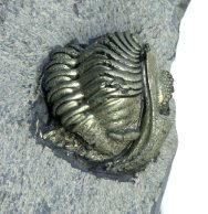 Pyritized Eldredgeops Trilobite with Preserved Appendage