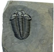 Gravicalymene Trilobite with Preserved Microconchid Epibiont