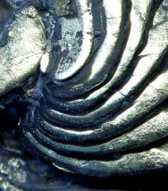 Pyritized Eldredgeops Trilobite with Preserved Sensory Bristles