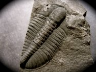 the mystery surrounding the infamous cambrian explosion The cambrian 'explosion' is widely regarded as one of the fulcrum points in the   as the mysterious and abrupt appearance of skeletal remains  in any event,  the post-tillite ediacaran interval is justly famous for its more or.