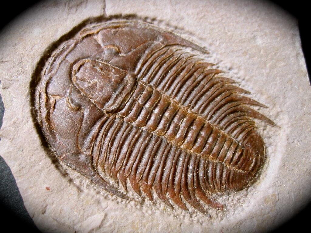 http://www.fossilmall.com/Pangaea/patrilos/tr22/pft757b.JPG