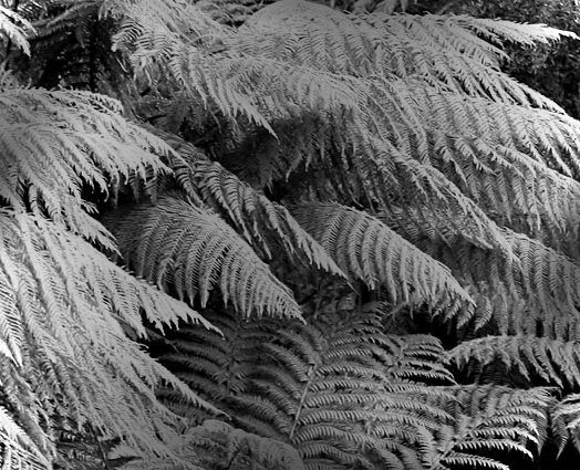 http://www.fossilmall.com/Pangaea/petwood/pw1/ferns.jpg