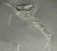 Nahecaris Bundenbach Arthropod