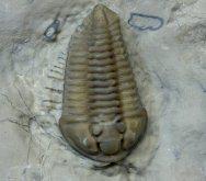 Calymene Trilobite with Legs and Antennae