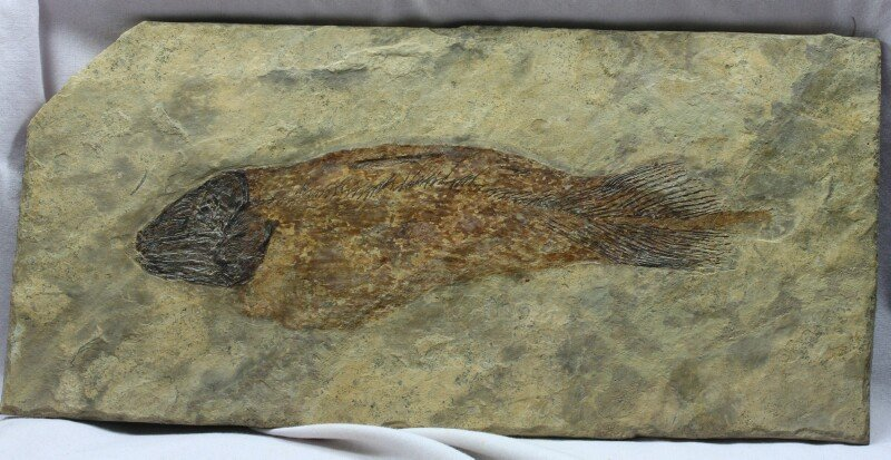 Caridosuctor coelacanth fish fossil for Fish fossils for sale