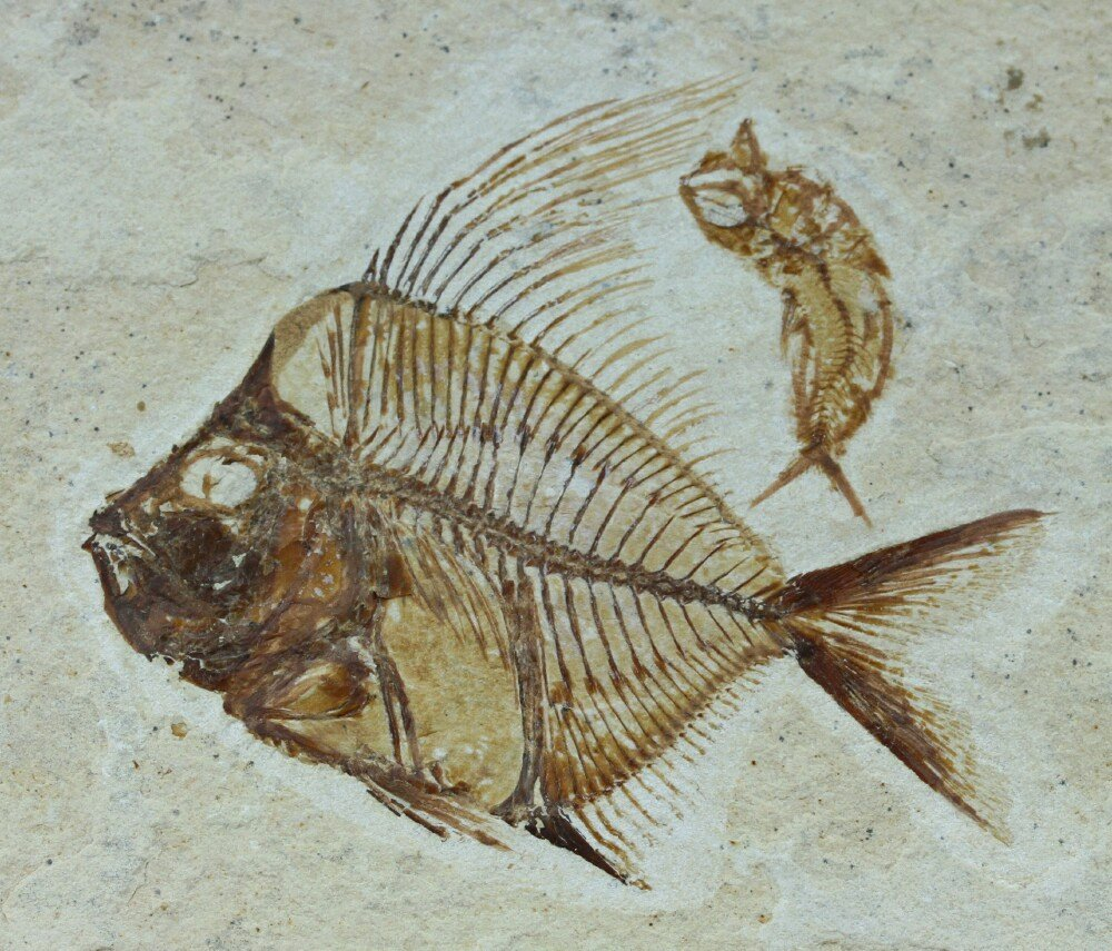 Aipichtys fish fossil for Fish fossils for sale