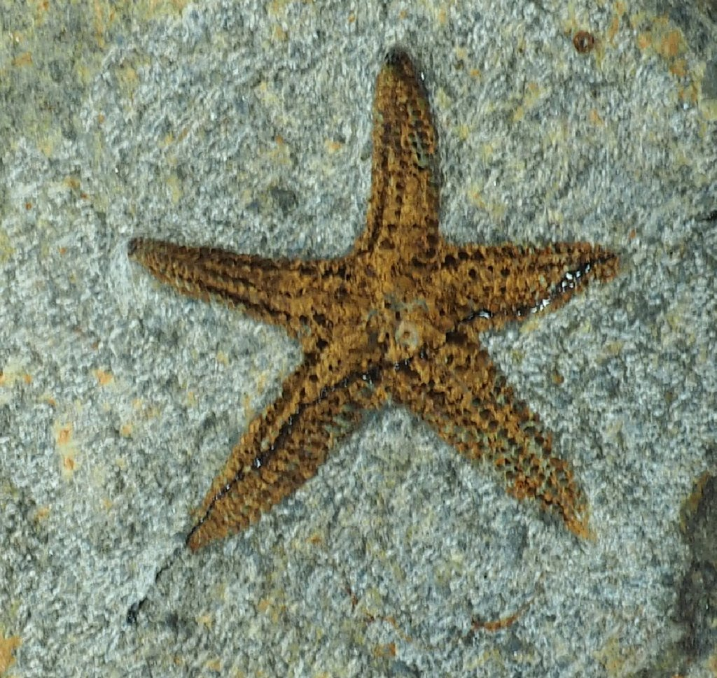 Starfish Fossils for Sale