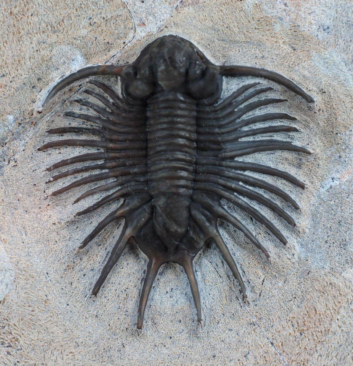 Trilobiitit