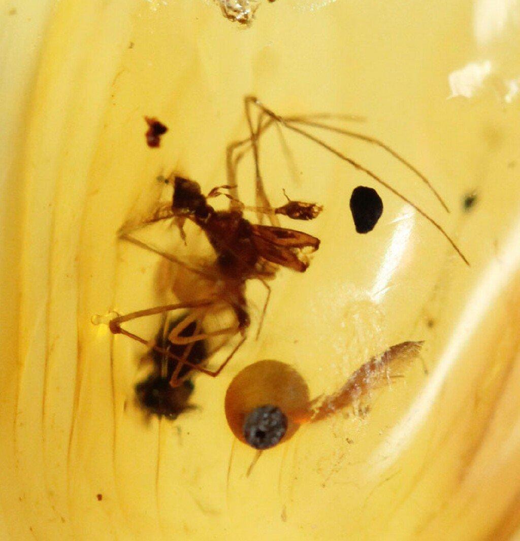 burmite-amber-assassin-spider.jpg